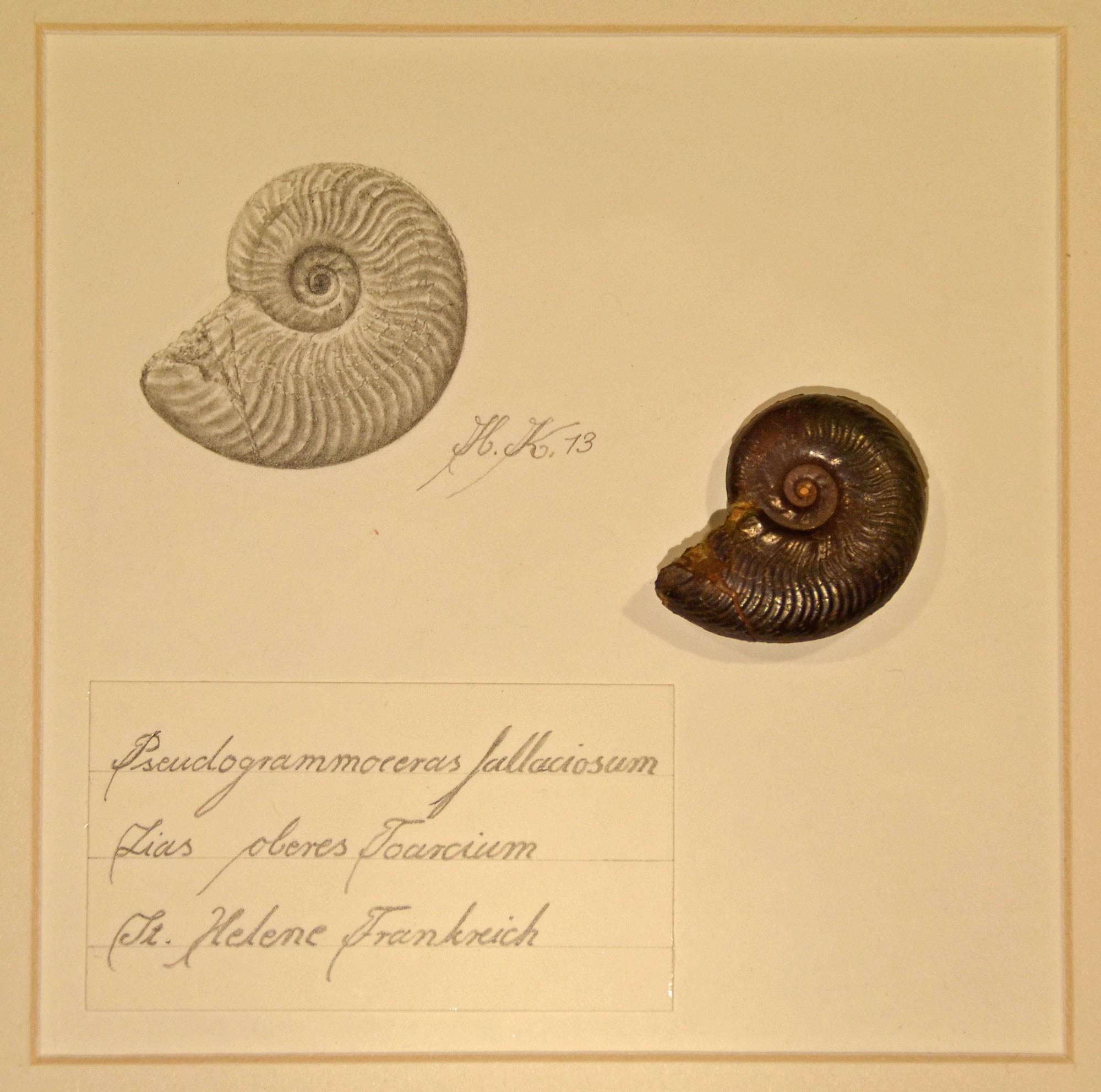 Kuschel, H. (2013): Pseudogrammoceras