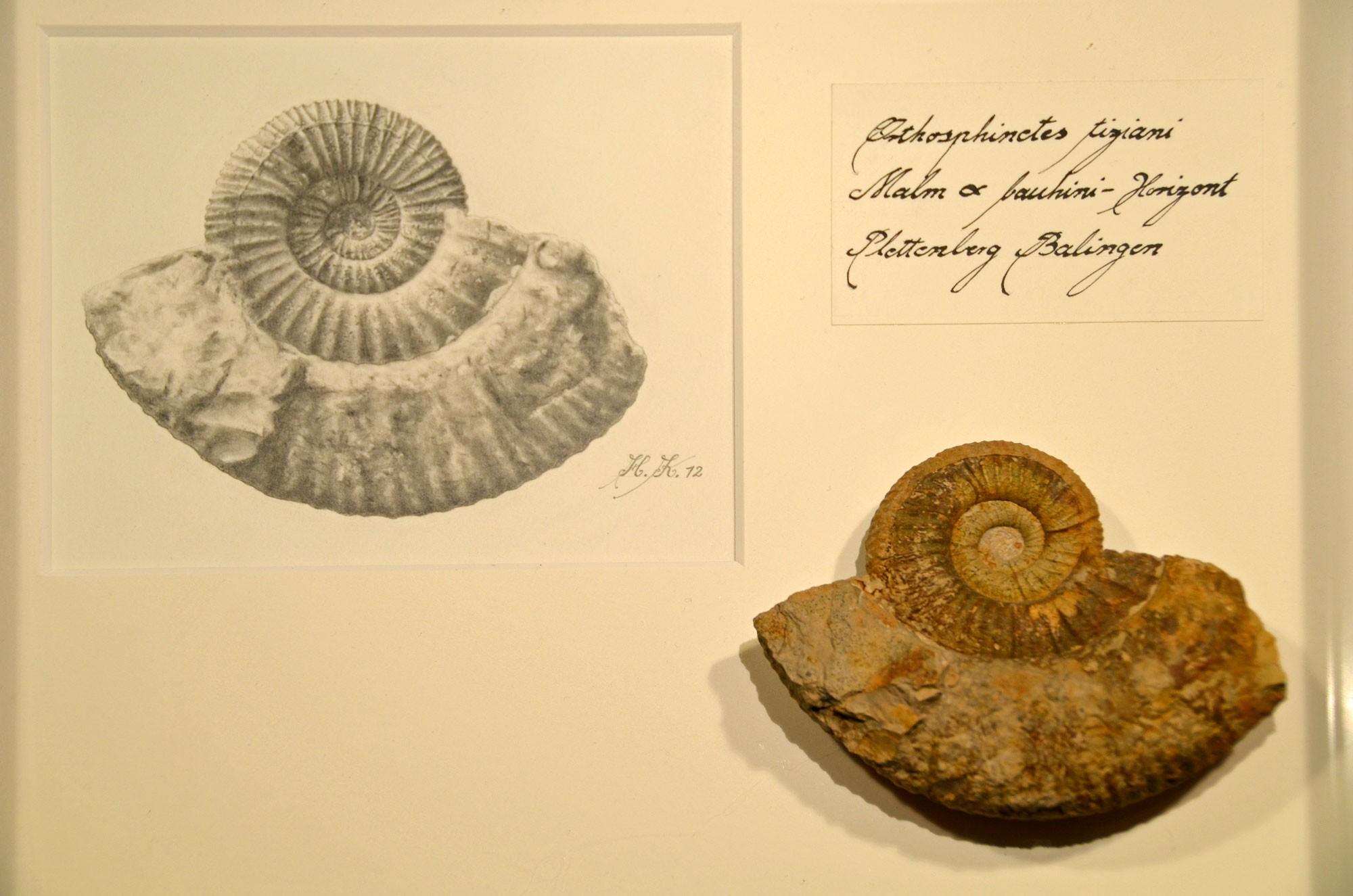 Kuschel, H. (2012): Orthosphinctes tiziani